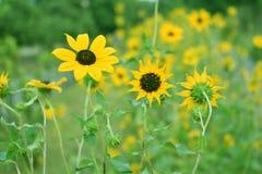 Helianthusen eller solrosen är ett släkte av växter som består av omkring 70 art i familjasteraceaen royaltyfria foton
