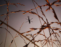 Helicóptero que vuela sobre campo de trigo Fotografía de archivo