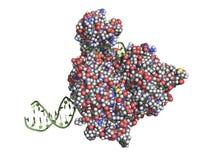 Helicase del DNA royalty illustrazione gratis