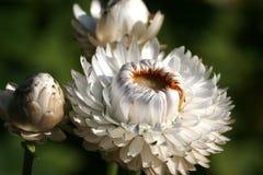 Helichrysum Lizenzfreie Stockfotografie