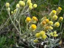 Helichrysum Στοκ εικόνες με δικαίωμα ελεύθερης χρήσης