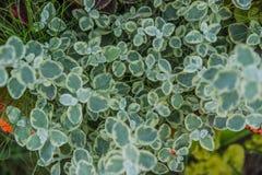 Helichrysum стоковое изображение
