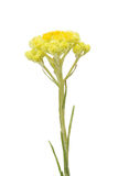 Helichrysum arenarium Royalty Free Stock Photo