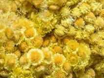 Helichrysum arenarium Stock Photography
