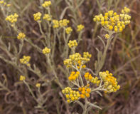 Helichrysum arenarium Royalty Free Stock Images