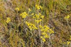 Helichrysum arenarium on meadow Royalty Free Stock Photos