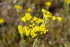 Helichrysum arenarium on meadow Stock Photography