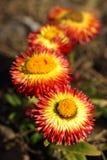 Helichrysum bracteatum Royalty Free Stock Photo