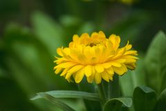 Helichrysum bracteatum is a flower that can last for a long time.Chrysanthemum Yellow is another type of wood that is popularly gr. Chrysanthemum Yellow is stock image