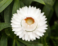 Helichrysum bracteatum flower Stock Images