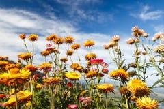 Helichrysum bracteatum kwiat Zdjęcia Royalty Free