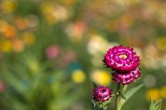 Helichrysum bracteatum kwitnie outside w ogródzie zdjęcia royalty free