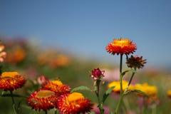 Helichrysum bracteatum kwitnie outside w ogródzie obrazy stock