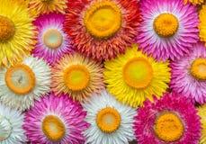 Helichrysum bracteatum  Straw flower Stock Photo