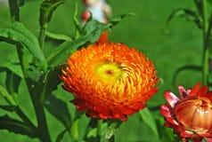 Helichrysum in de tuin Stock Foto's