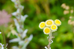 Helichrysum Stock Photos