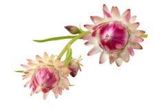 Helichrysum Flower Stock Image