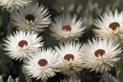 Helichrysum Flowers Stock Images