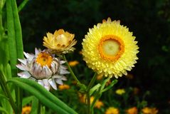 Helichrysum flowers suitable for drying. Beautiful yellow helichrysum flowers suitable for drying Stock Images