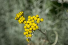 Helichrysum italicum in bloom, rounded yellow group of small flowers. Meadow flower stock photos