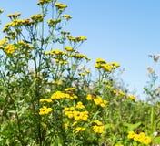Helichrysum luminoso dei flowerses nel campo fotografie stock libere da diritti