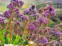 Helichrysum monogynum, Strohblumen Kanarienvogel lizenzfreie stockfotografie