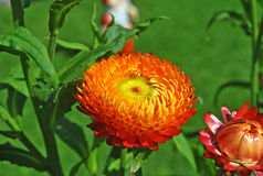 Helichrysum nel giardino Fotografie Stock