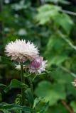 Helichrysum paper daisy straw flower. Stock Photography
