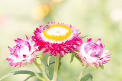 Helichrysum Paper daisy Strawflower Flower Stock Image