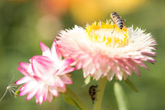 Helichrysum Paper daisy Strawflower Flower Royalty Free Stock Images