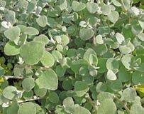 Helichrysum petiolare stockbilder