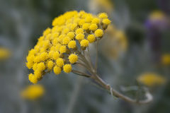 Helichrysum plant Royalty Free Stock Photo