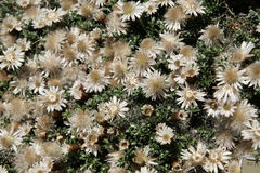 Helichrysum retortoides, Everlasting Stock Image