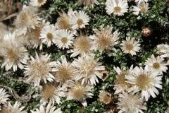 Helichrysum retortoides, Everlasting Stock Images