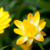 Helichrysum ?sole? Fotografia Stock Libera da Diritti