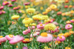 Helichrysum or Straw flower Royalty Free Stock Images