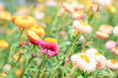 Helichrysum or Straw flower Royalty Free Stock Photography