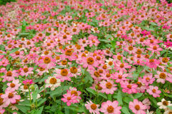 Helichrysum or Strawflower in garden Royalty Free Stock Images