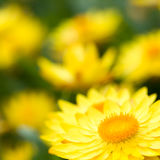 Helichrysum 'Sunshine' flowers Royalty Free Stock Images