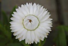 Helichrysum white flower closed Stock Image