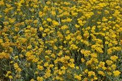 Helichrysumstoechas i blom. Royaltyfria Bilder