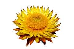 Helichysum & x28; yellow& x29; kwiat na białym tle zdjęcie stock