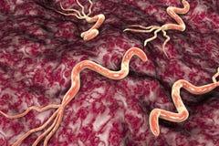 Helicobacter pylori bacterium Royalty Free Stock Image