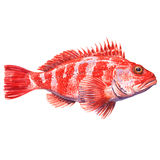 Helicolenus dactylopterus, Rockfish, Blackbelly rosefish or redfish isolated, watercolor illustration Royalty Free Stock Photos