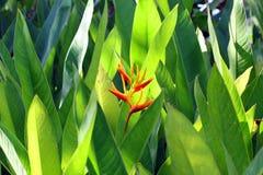 Heliconia在庭院里 免版税库存图片