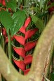 Heliconia的异乎寻常的绽放 免版税库存照片