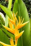 Heliconia花在庭院里 库存图片