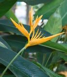 Heliconia花在庭院里 库存照片