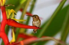 heliconia蜂鸟 免版税库存照片