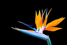 heliconia λουλουδιών Στοκ Εικόνες